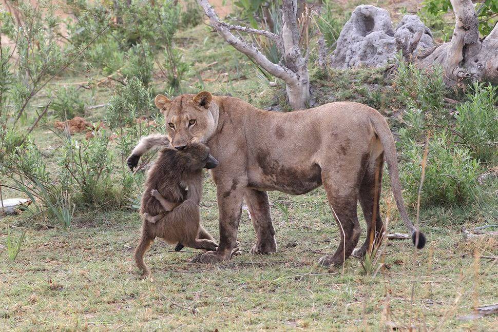 A Lioness Captures A Baby Baboon And Guess What She Will Do Next_1