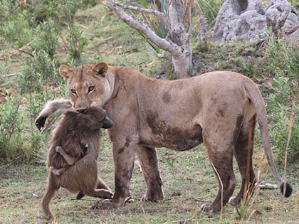 A Lioness Captures A Baby Baboon And Guess What She Will Do Next