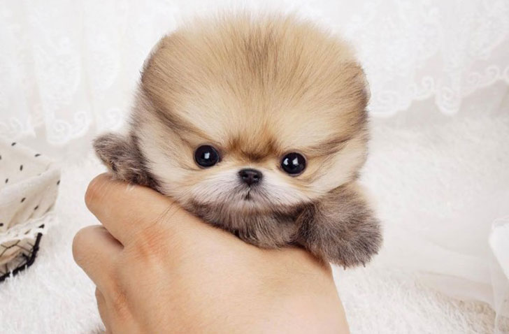 10-of-the-worlds-smallest-dog-breeds-that-are-bound-to-steal-your-heart_6
