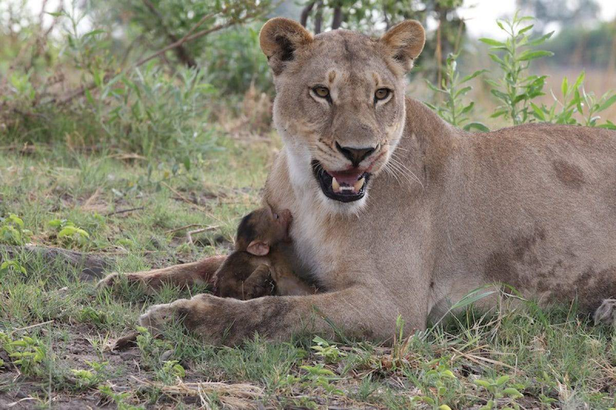 a-lioness-captures-a-baby-baboon-and-does-the-last-thing-youd-expect_6