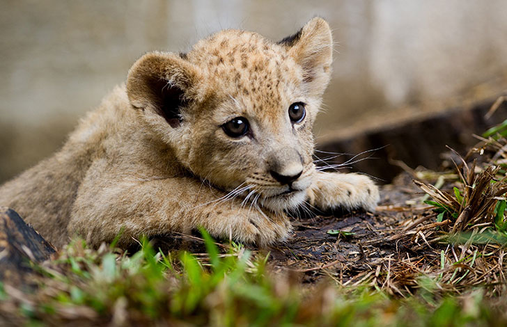 orphaned-lion-cub-was-in-want-of-a-mom-and-met-a-life-changing-companion_2
