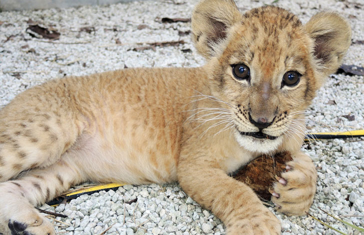 orphaned-lion-cub-was-in-want-of-a-mom-and-met-a-life-changing-companion_3