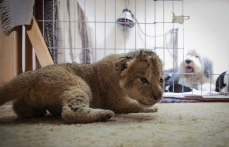 orphaned-lion-cub-was-in-want-of-a-mom-and-met-a-life-changing-companion_6