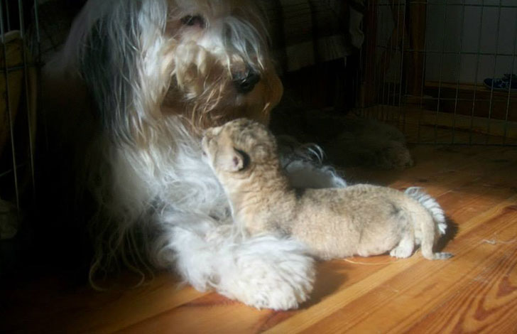 orphaned-lion-cub-was-in-want-of-a-mom-and-met-a-life-changing-companion_7
