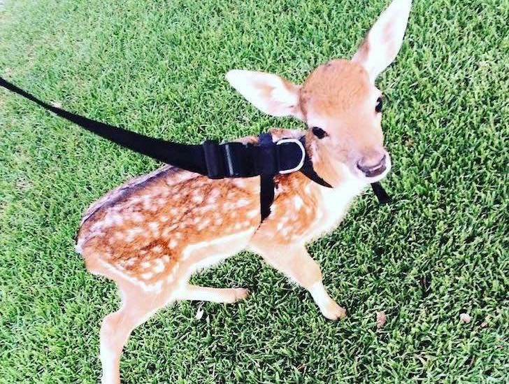 this-baby-deer-was-found-with-a-missing-leg-guess-what-happened-to-him-next_12