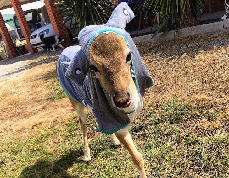 this-baby-deer-was-found-with-a-missing-leg-guess-what-happened-to-him-next_17