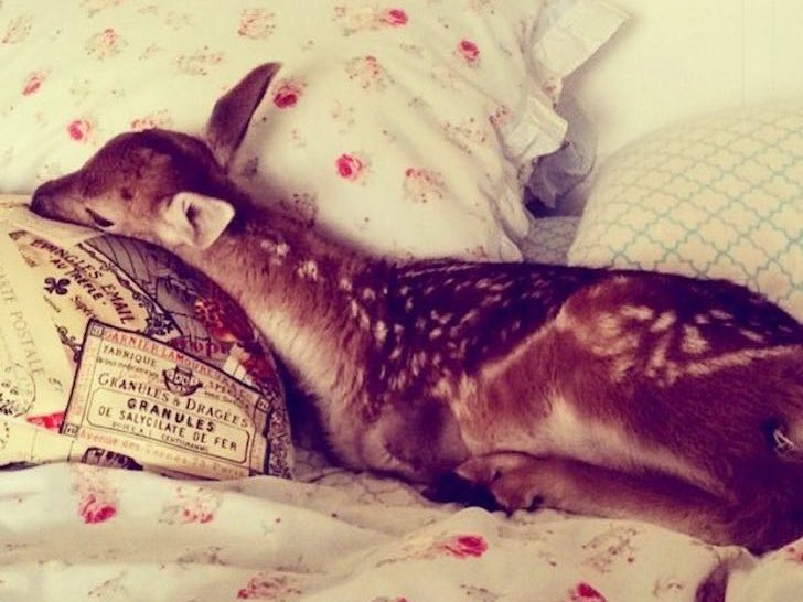 this-baby-deer-was-found-with-a-missing-leg-guess-what-happened-to-him-next_4