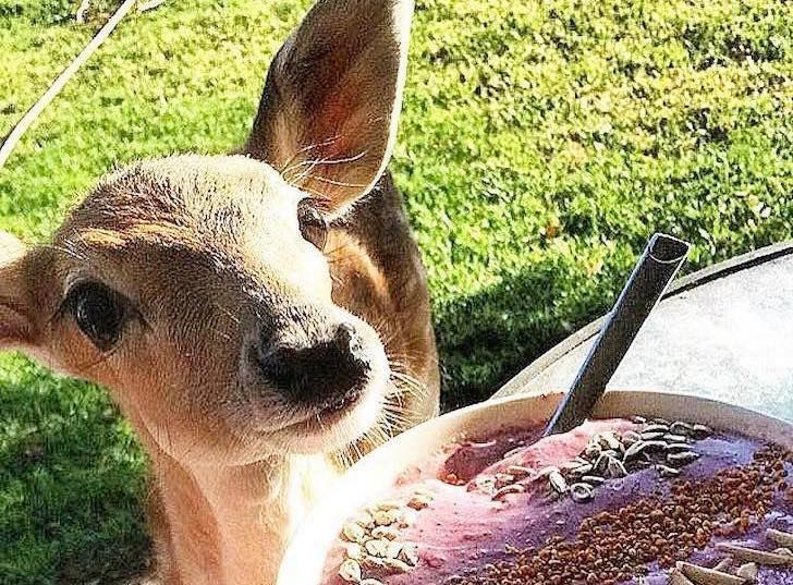 this-baby-deer-was-found-with-a-missing-leg-guess-what-happened-to-him-next_8