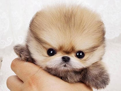 10 Of The World's Smallest Dog Breeds That Are Bound To Steal Your Heart