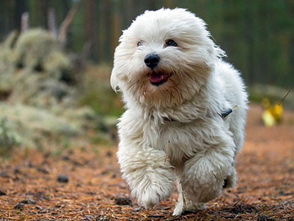 14 Smallest White Dogs That Make Great Apartment Dogs