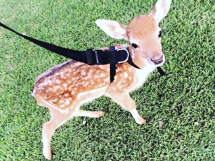 This Baby Deer Was Found With A Missing Leg, Guess What Happened To Him Next