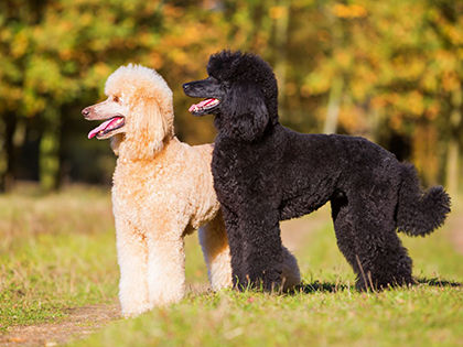 Top 10 Hypoallergenic Dog Breeds That Don't Shed