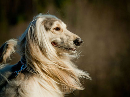 15 Most Elegant Dog Breeds As Your Noble Companion